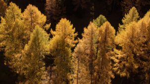 Autumn larch close