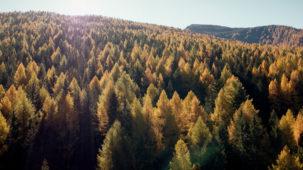Massive autumn larch forest