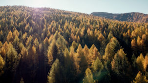 Massive autumn larch forest