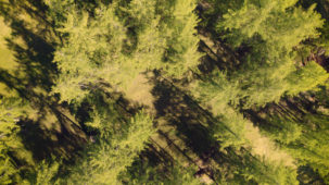Larch forest in spring from above