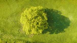 Oak Tree from above